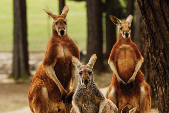 Red kangaroos at Ballarat Wildlife Park (©Ballarat Regional Tourism)