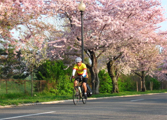 A bicyclist rides past blooming cherry trees