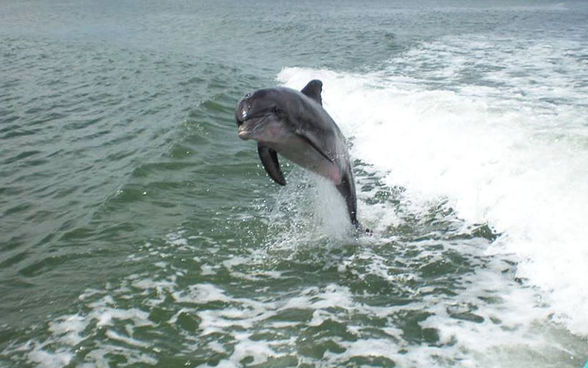 Dolphin watching aboard a cruise from ParrotDise Express, Tampa Bay