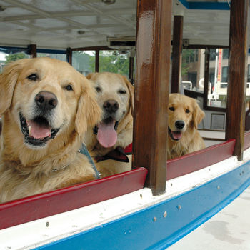 Three happy golden retrievers riding on a Potomac Riverboat Company vessel