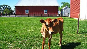 A calf out to pasture at Frying Pan Farm Park