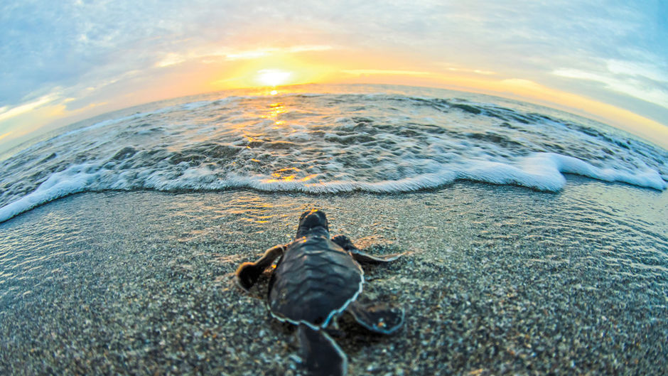 Sea Turtles in Amelia Island, Jacksonville Beach, Ponte Vedra and St. Augustine