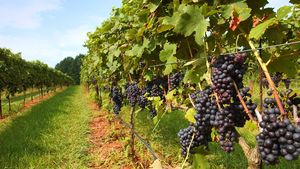 Yadkin Valley grapes